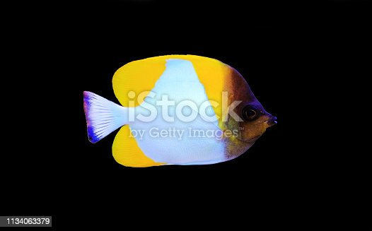 Pyramid Butterflyfish , beautiful tropical fish in aquarium
