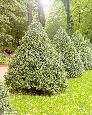 Pyramid of the European privet Ligustrum vulgare, deciduous bushes of the privet trimmed in the shape of a cone, decoration of the natural park