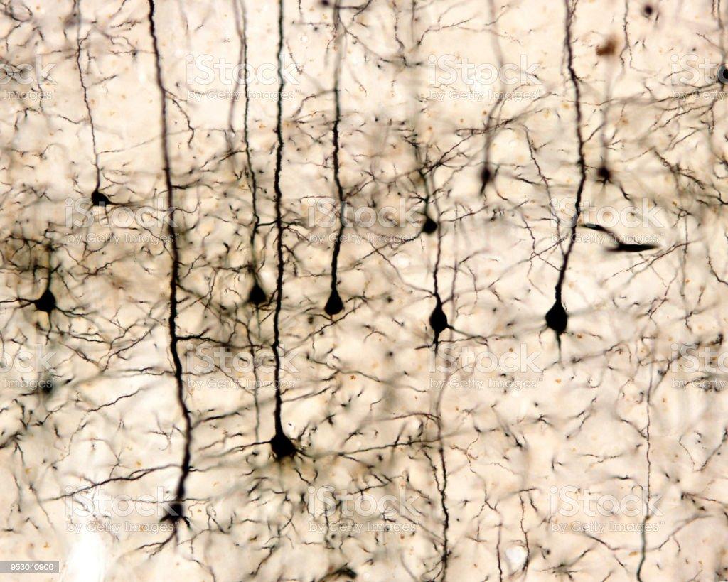 Pyramidal neurons stock photo