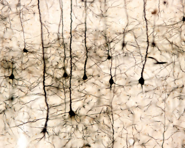 Pyramidal neurons stock photo