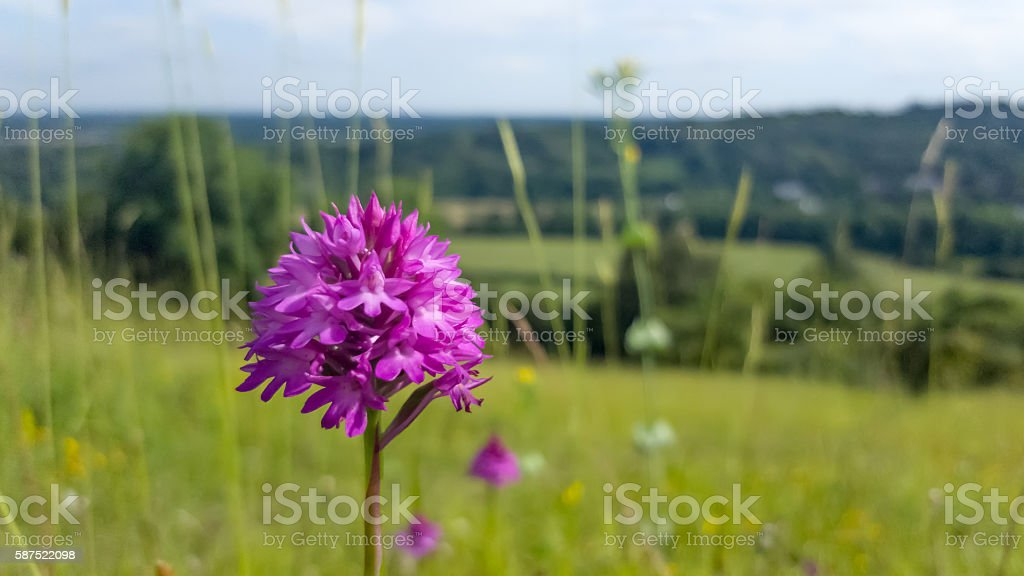 Pyramidal Orchid flower (Anacamptis pyramidalis) on chalkhill downs stock photo
