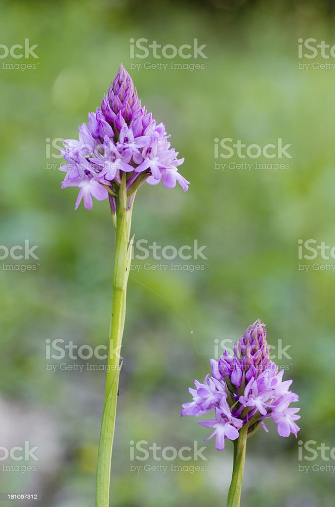 Pyramidal Orchid (Anacamptis pyramidalis) royalty-free stock photo