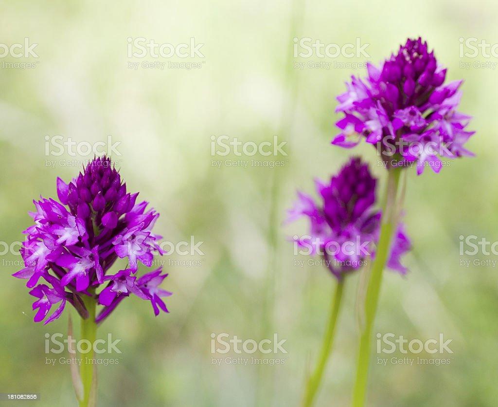 Pyramidal Orchid (Anacamptis pyramidalis) royalty-free stock photo