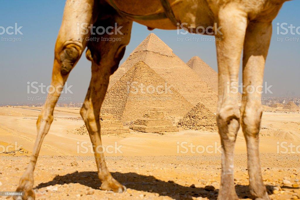 Pyramids Framed Through Camel Legs royalty-free stock photo