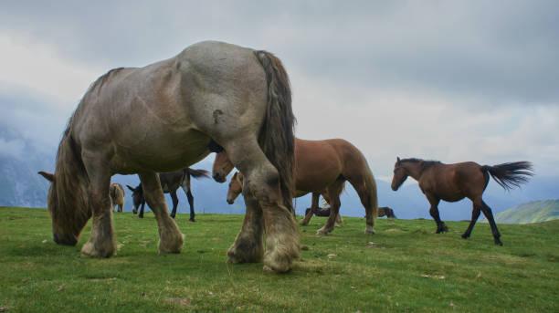 Pyrenean horses stock photo