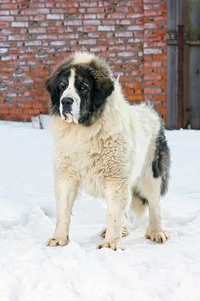 Pyrenean Mastiff stock photo