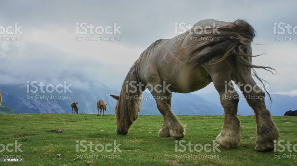 Chevaux des Pyrenees 2 royalty-free stock photo