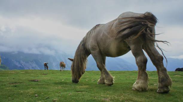 Pyrenees Horses 2 stock photo