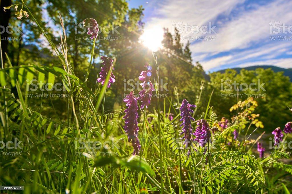 草原をピレネー山脈春花 ロイヤリティフリーストックフォト