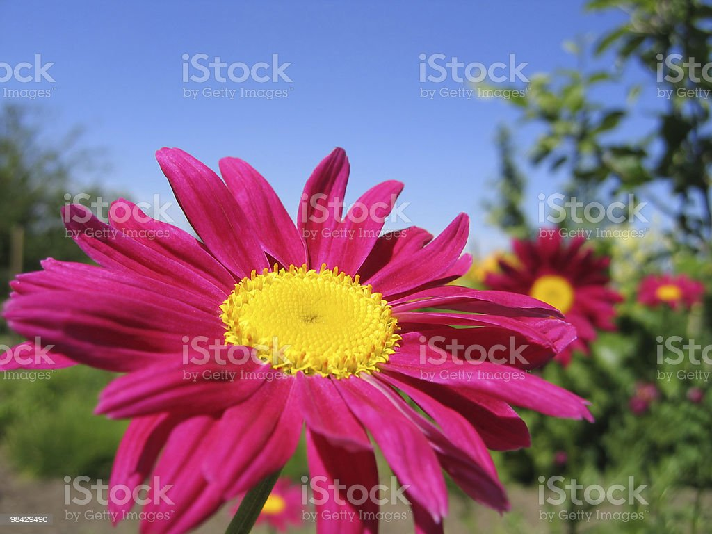 Pyrethrum flower royalty-free stock photo