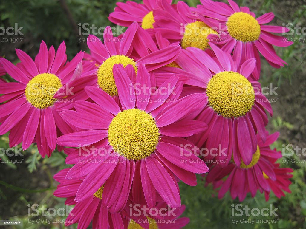 Pyrethrum 꽃 royalty-free 스톡 사진