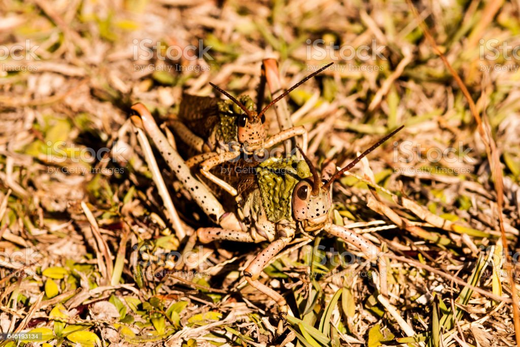 pyrgomorphid Grasshopper stock photo