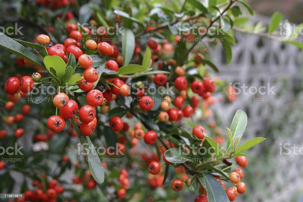 Pyrocanthia Bush - Photo
