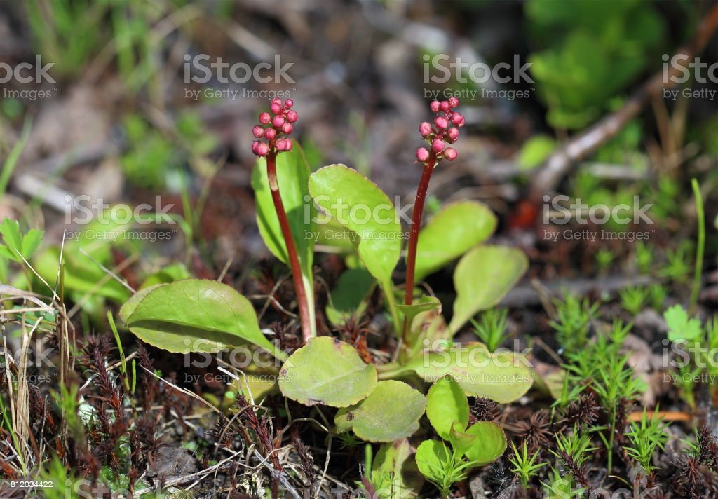 Pyrola minor. Plant with buds in early summer stock photo