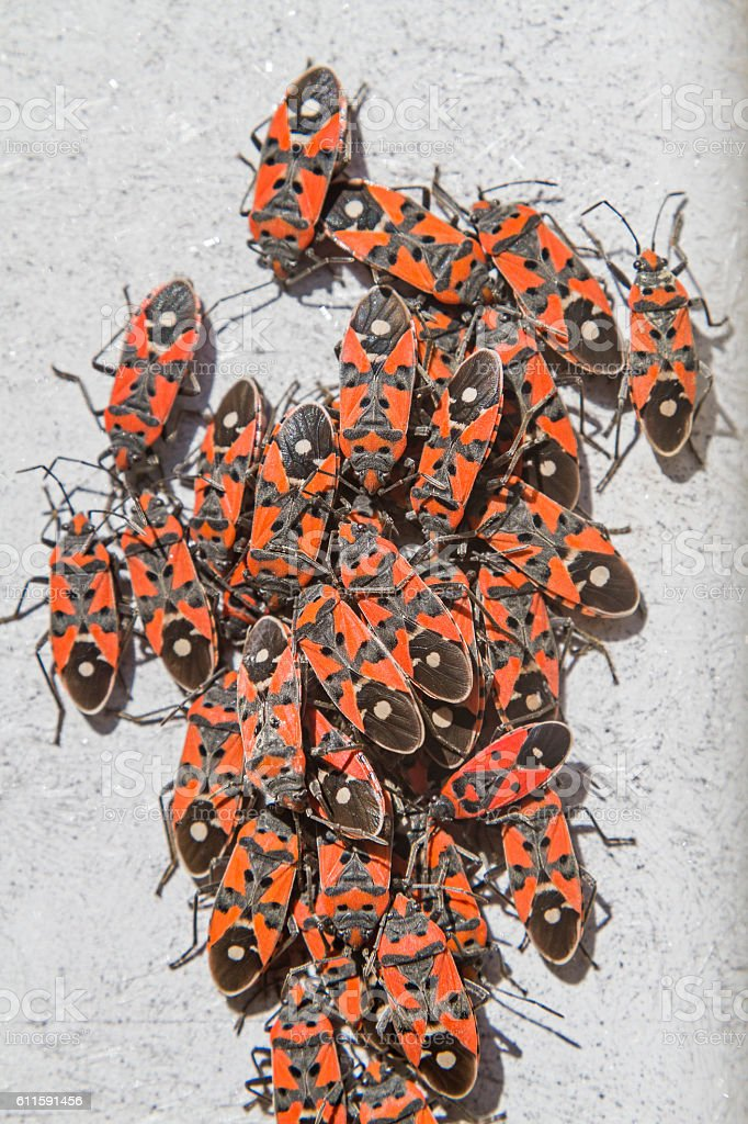 Pyrrhocoris apterus stock photo
