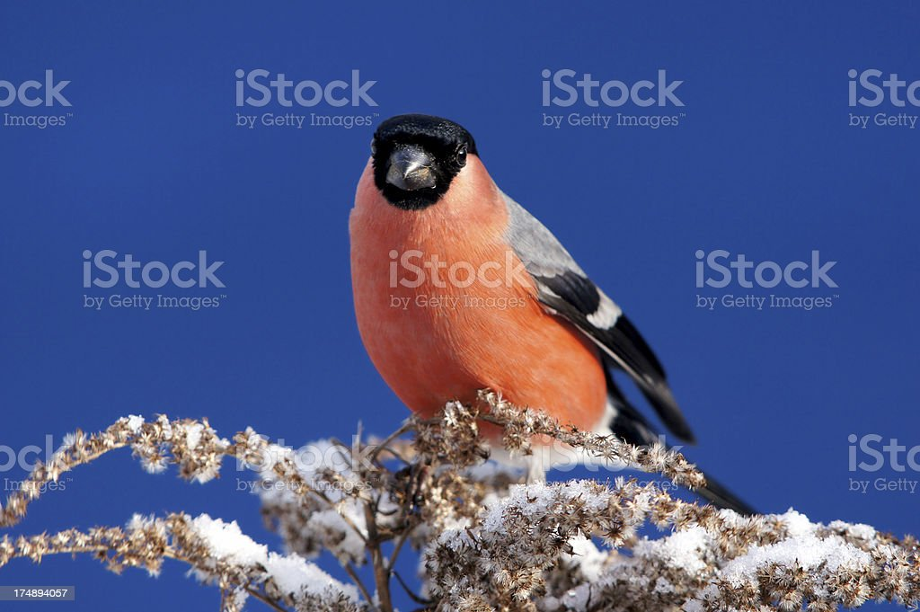 Pyrrhula in front of a blue sky royalty-free stock photo