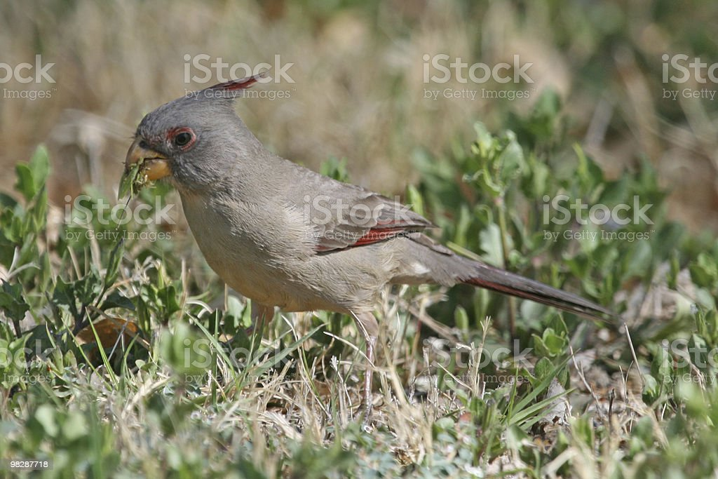 Pyrrhuloxia royalty-free stock photo