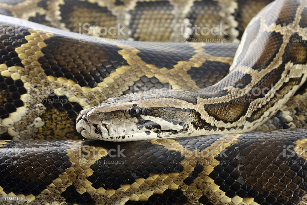 Python coils and head royalty-free stock photo