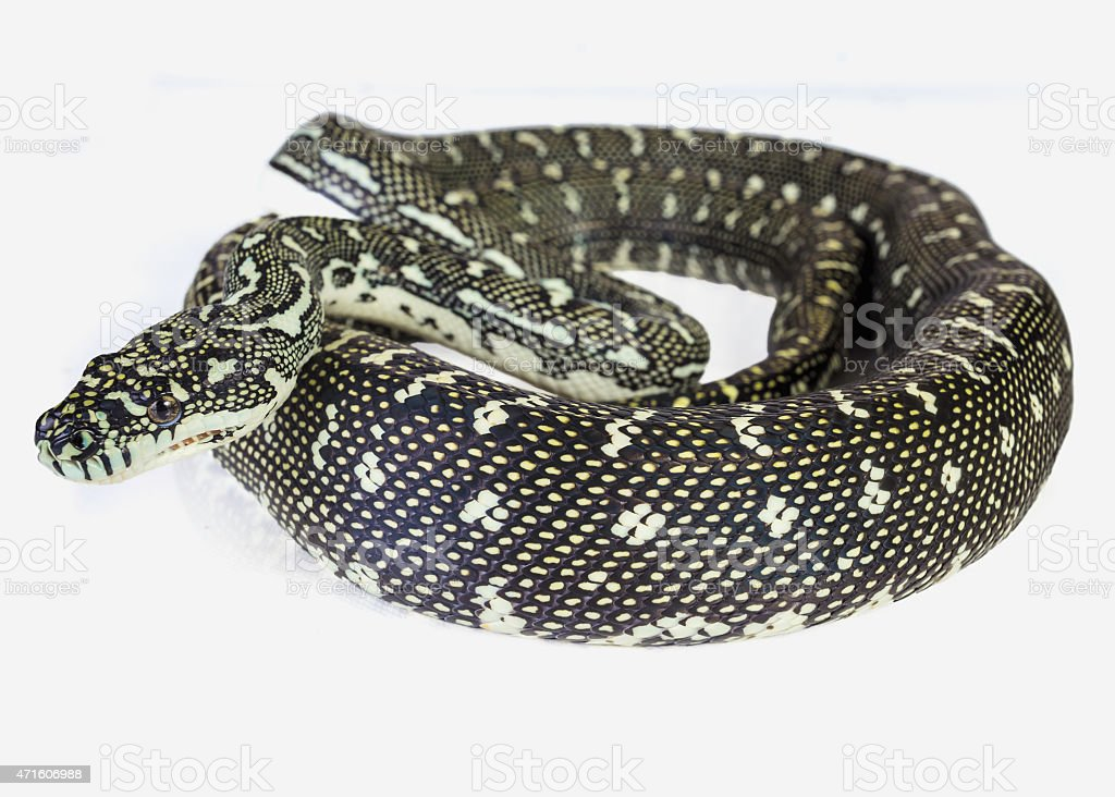 diamon python stock photo