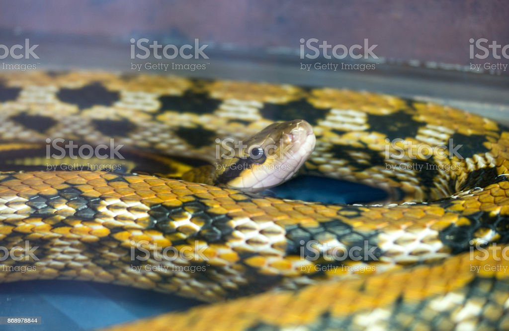 Python in cage stock photo