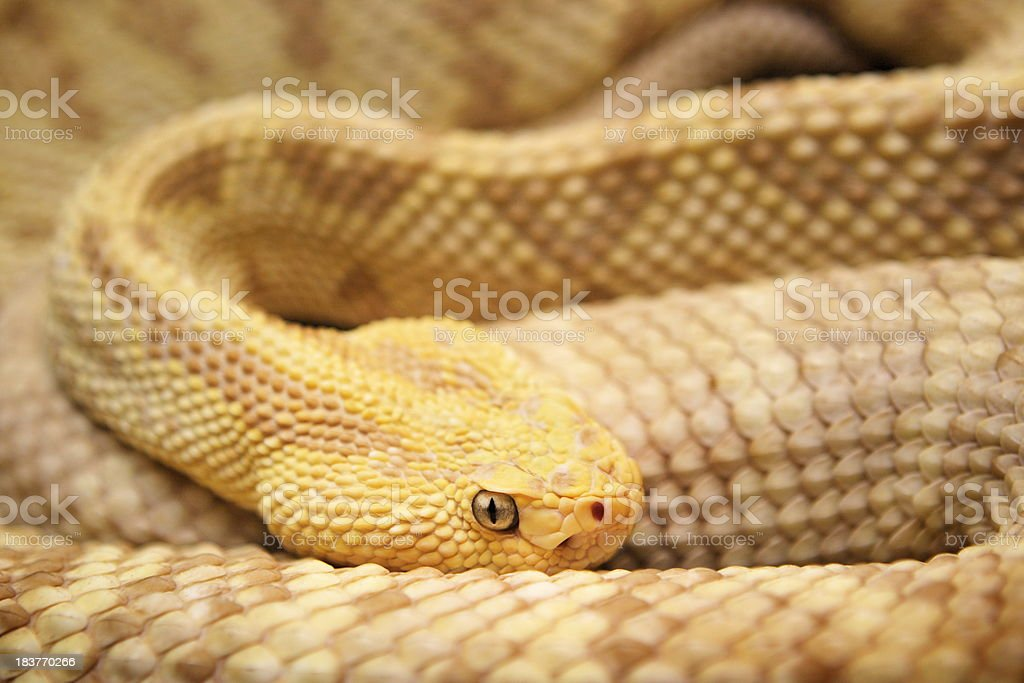 Python molurus bivittatus Yellow Burmese Snake stock photo