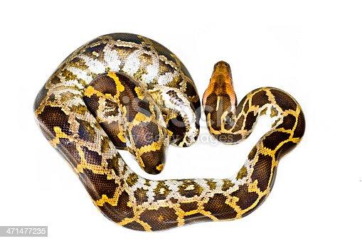 istock python 471477235