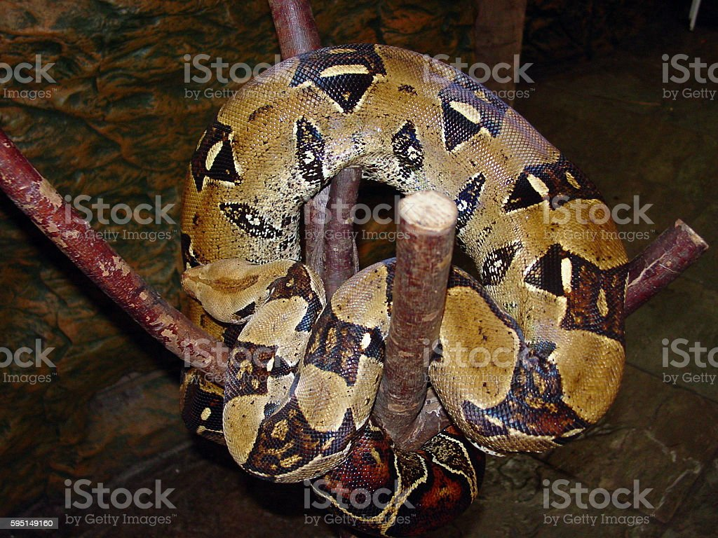 Python A python snake. Horizontal Stock Photo
