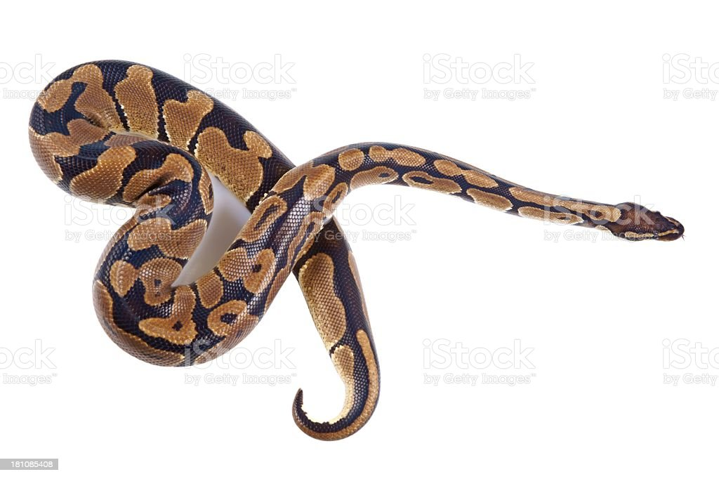 Python regius with tongue sticking out, on white background royalty-free stock photo