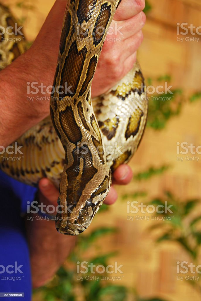 Python snack in human hands stock photo