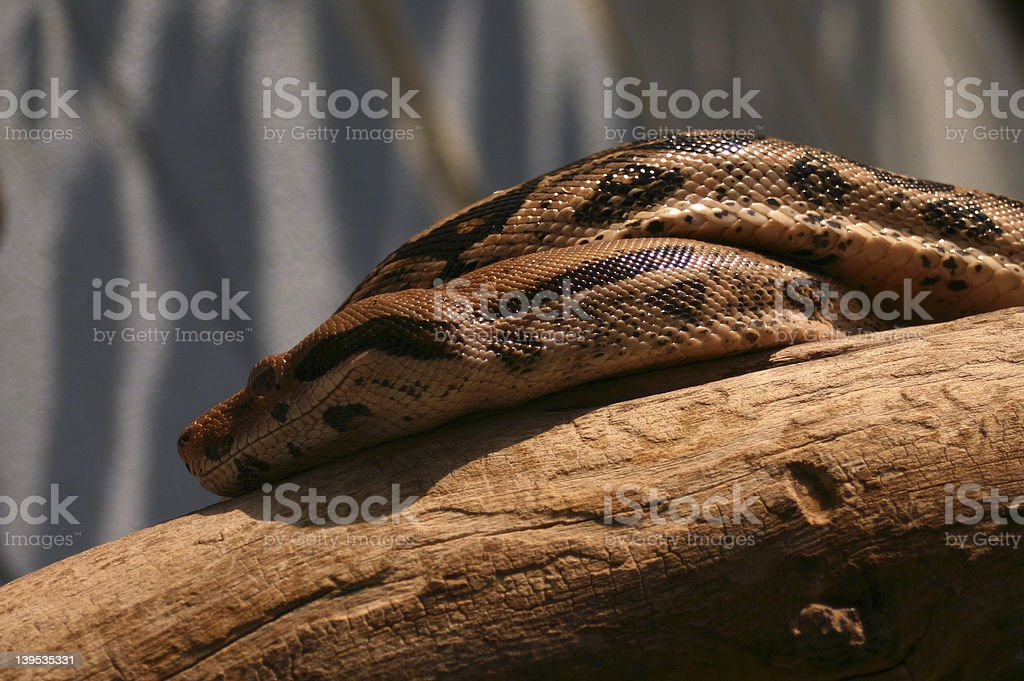 Python Snake on Tree royalty-free stock photo