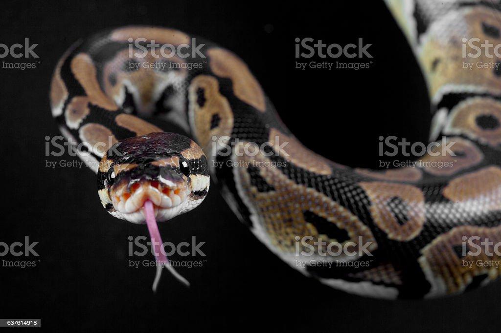 Python snake portrait stock photo