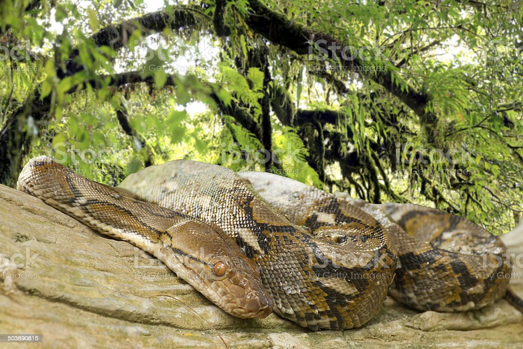Pythons lay curled up in a tree in the rainforest. stock photo
