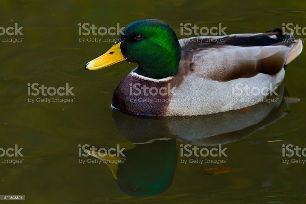 Quack stock photo