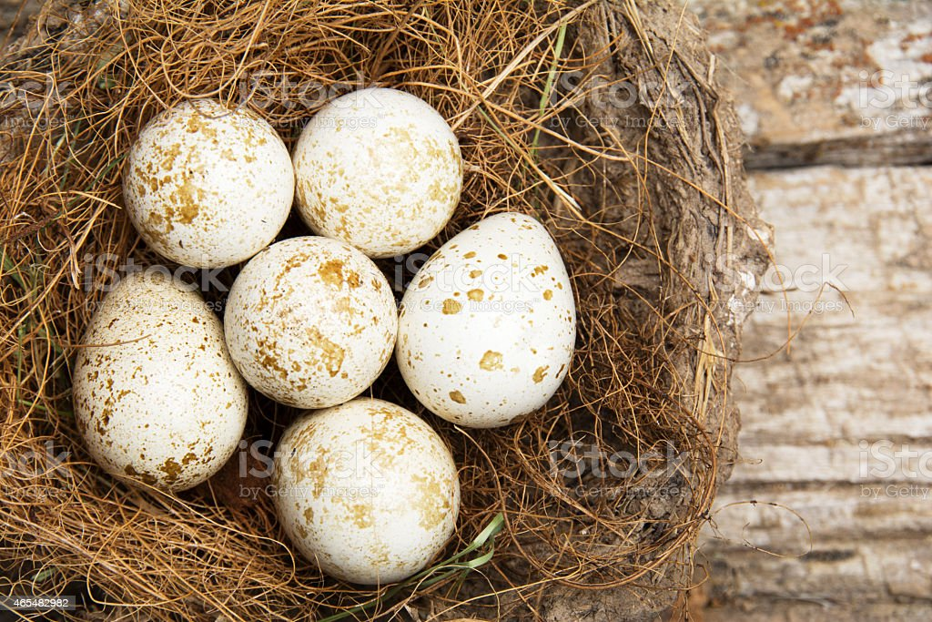 Quail Bird Eggs stock photo