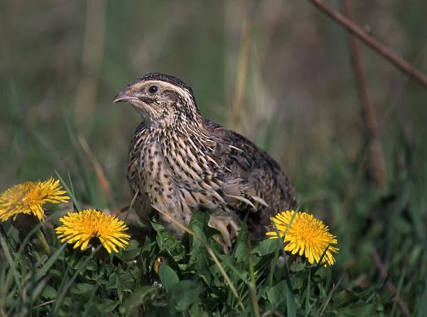 quail, coturnix coturnix - colin photos et images de collection