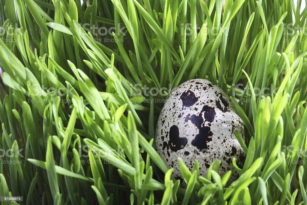 Quail egg in the grass royalty-free stock photo