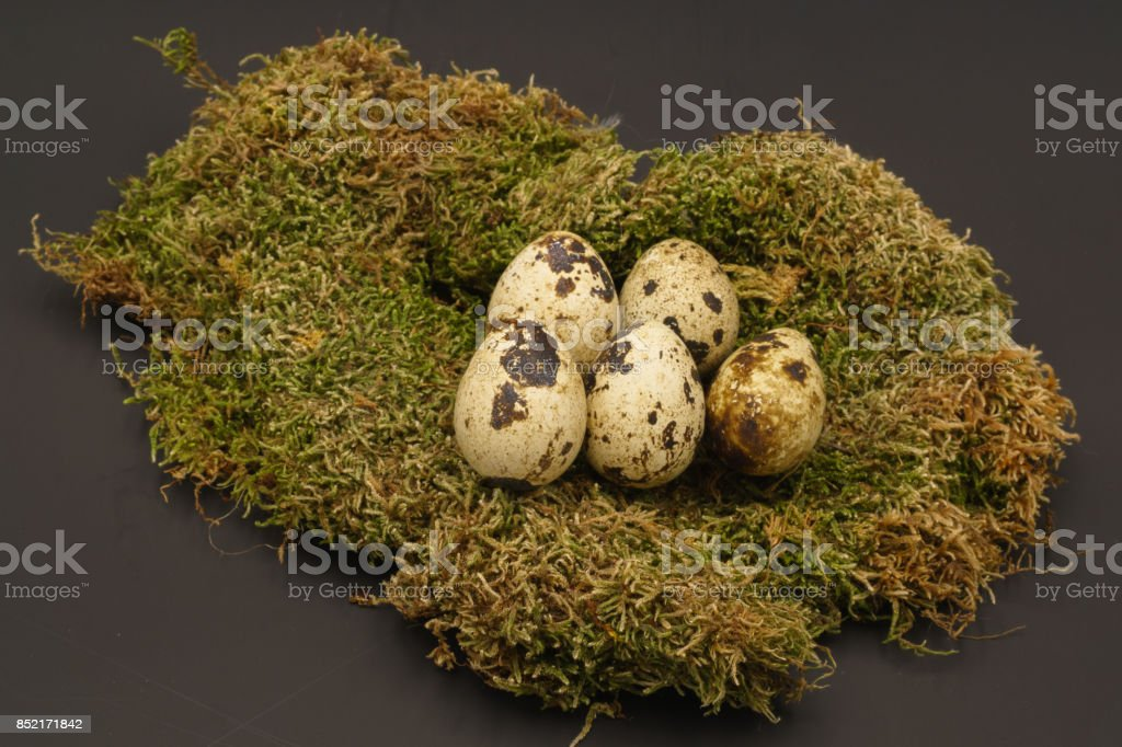 quail eggs and net isolated on black background stock photo