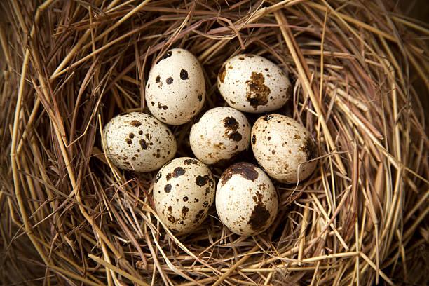 quail eggs in nest - wachtelei stock-fotos und bilder
