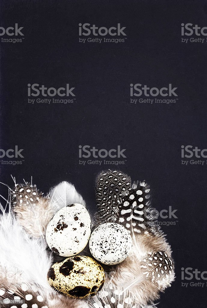 Quail eggs with white feathers on vintage black scratched stock photo