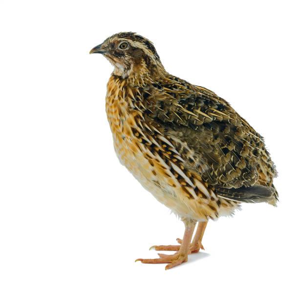 poule caille isolée sur blanc - colin photos et images de collection