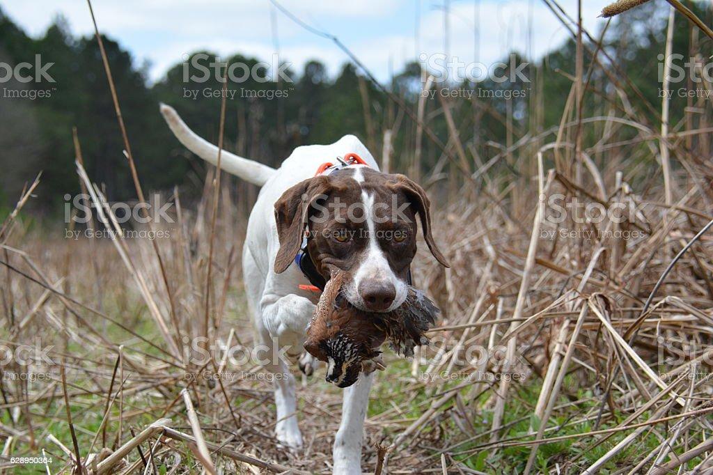 Quail Hunting South GA - foto de stock