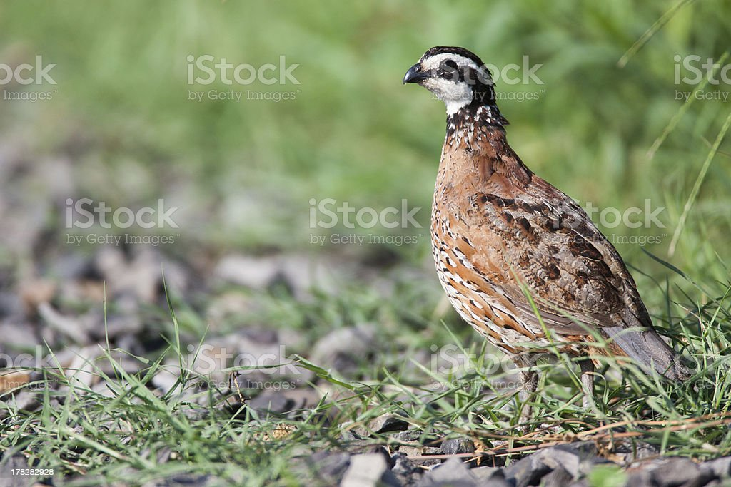 Quail in grass and rocks stock photo