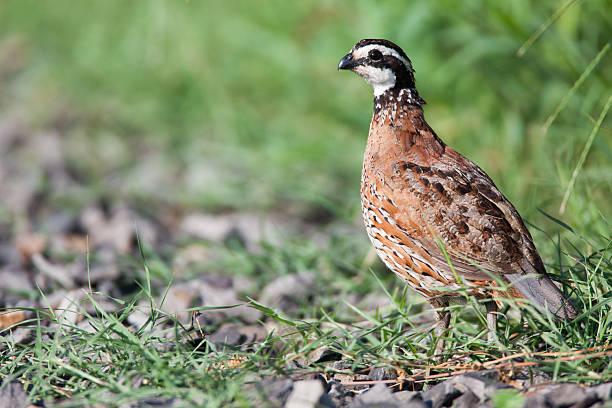 quail d'herbe et de pierres. - colin photos et images de collection