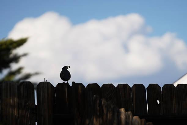 Quail on a fence stock photo