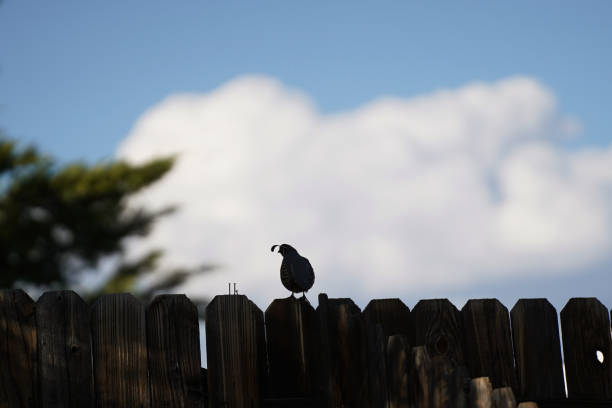 A quail perched on a fence. stock photo