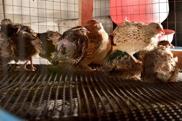 cailles et oeufs en cage dans une ferme - colin photos et images de collection