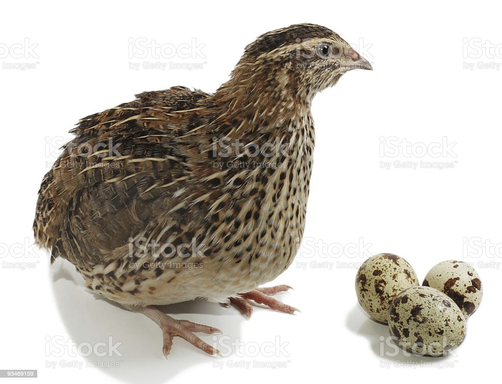 A quails and its eggs on a white background stock photo