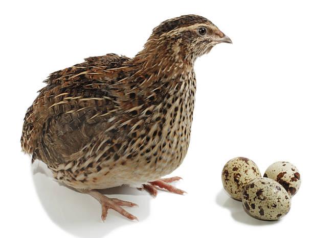 quail - colin photos et images de collection