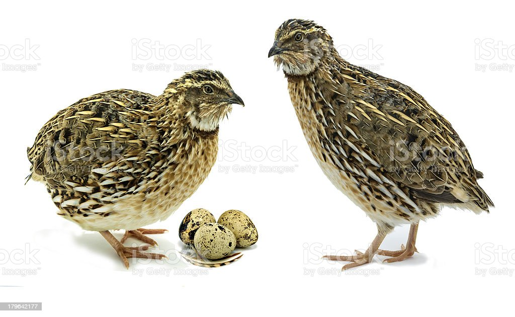 Quails are farmed poultry stock photo