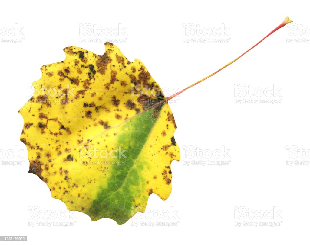 Quaking Aspen Leaf Isolated On White Stock Photo More Pictures Of